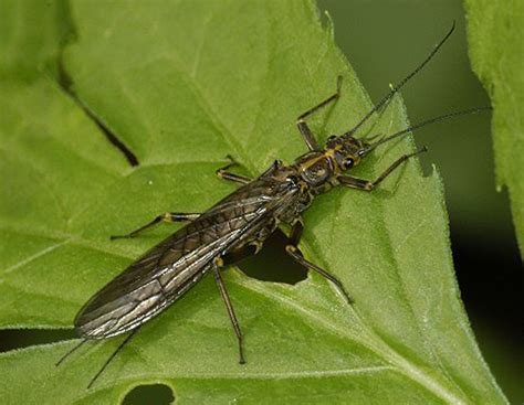 Quia - Insects of MN