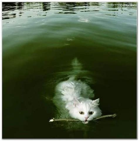 Who said that cats didn't like water? (16 photos